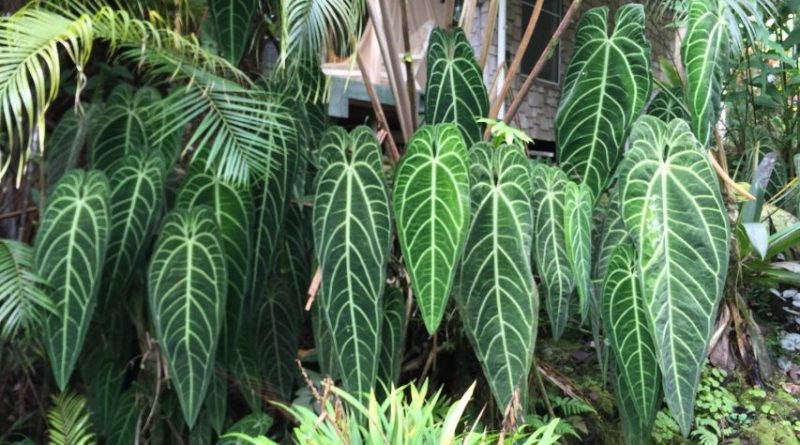 Anthurium Warocqueanum Pusat Download Area
